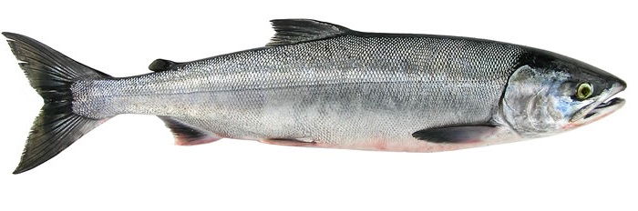 Chum (Dog) Salmon